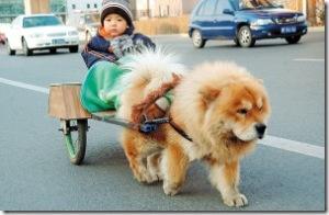 chauffeur chow chow dog[2]